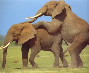 elefant sex tube